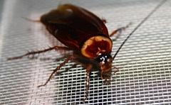 cockroach pest control sunshine coast